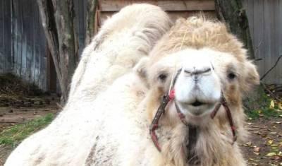 Известный тюменский верблюд Кеша умер реабилитационном центре под Петербургом