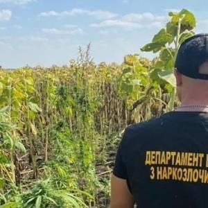 На поле подсолнухов в Днепропетровской области нашли коноплю. Фото. Видео