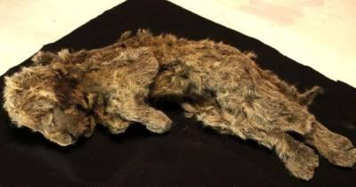 Сохранились даже усы: в Сибири нашли львенка из ледникового периода