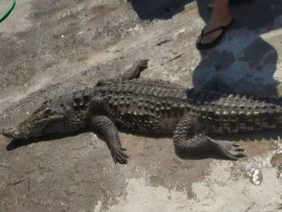 Крокодила, который неизвестно откуда взялся в Херсонской области, достали из водоема. Он погиб