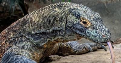 """Экологи возмущены: в Индонезии открылся """"Парк юрского периода"""" с комодскими драконами"""