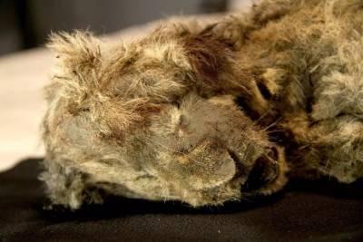 Найдено самое хорошо сохранившееся животное ледникового периода