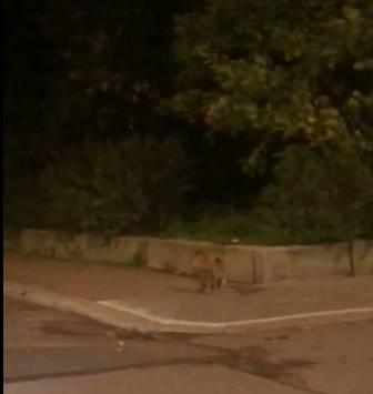 На улицах Выборга заметили юркую лисицу, гуляющую по ночам — видео